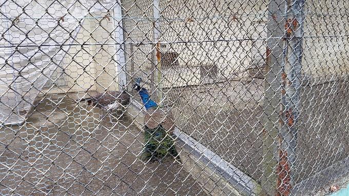 小倉公園 ミニ動物園 孔雀