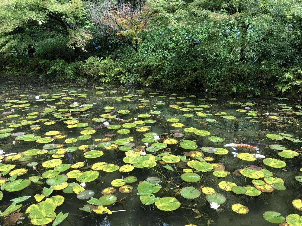 岐阜県関市モネの池 アジサイとスイレンの見頃