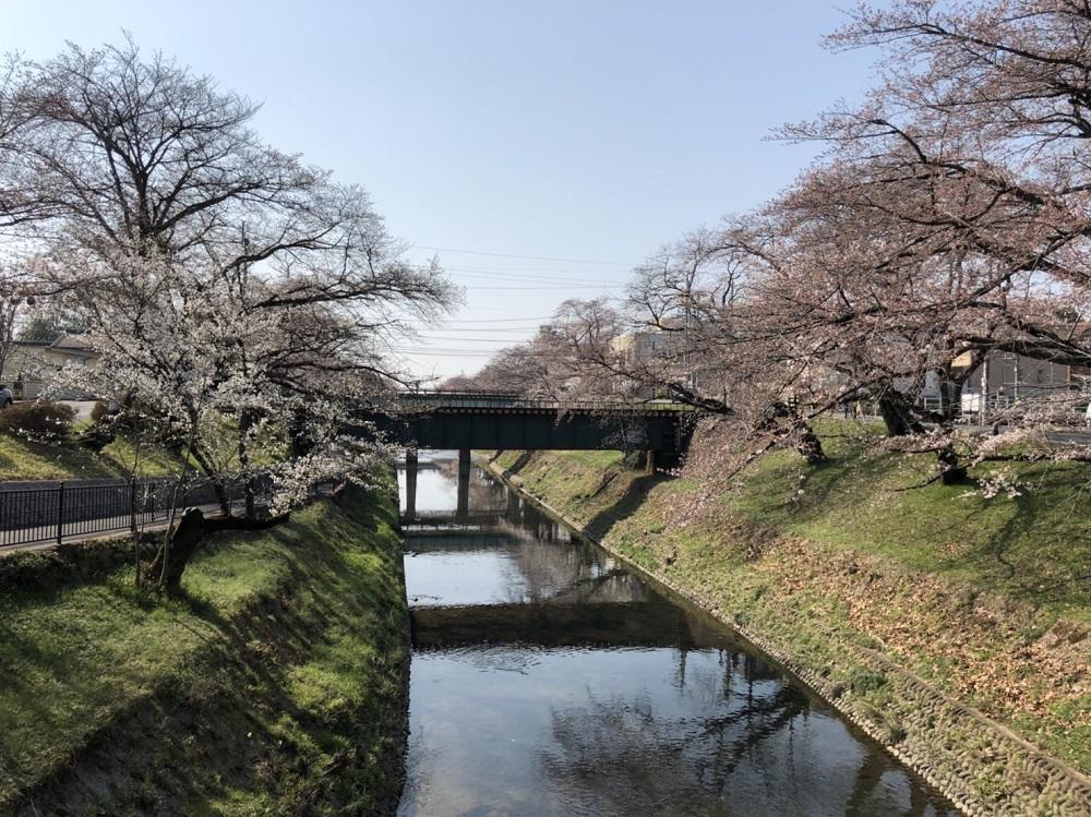 関市近郊の桜の名所 新境川・百十郎桜<各務原市>