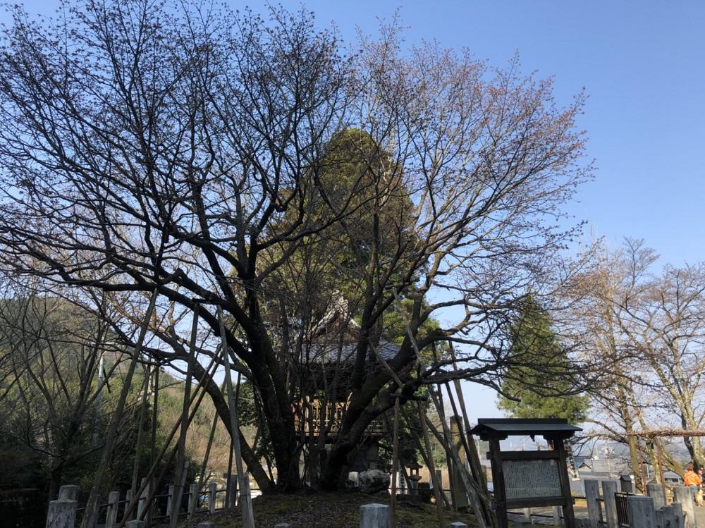 関市近郊の桜の名所 中将姫誓願桜 <岐阜市>