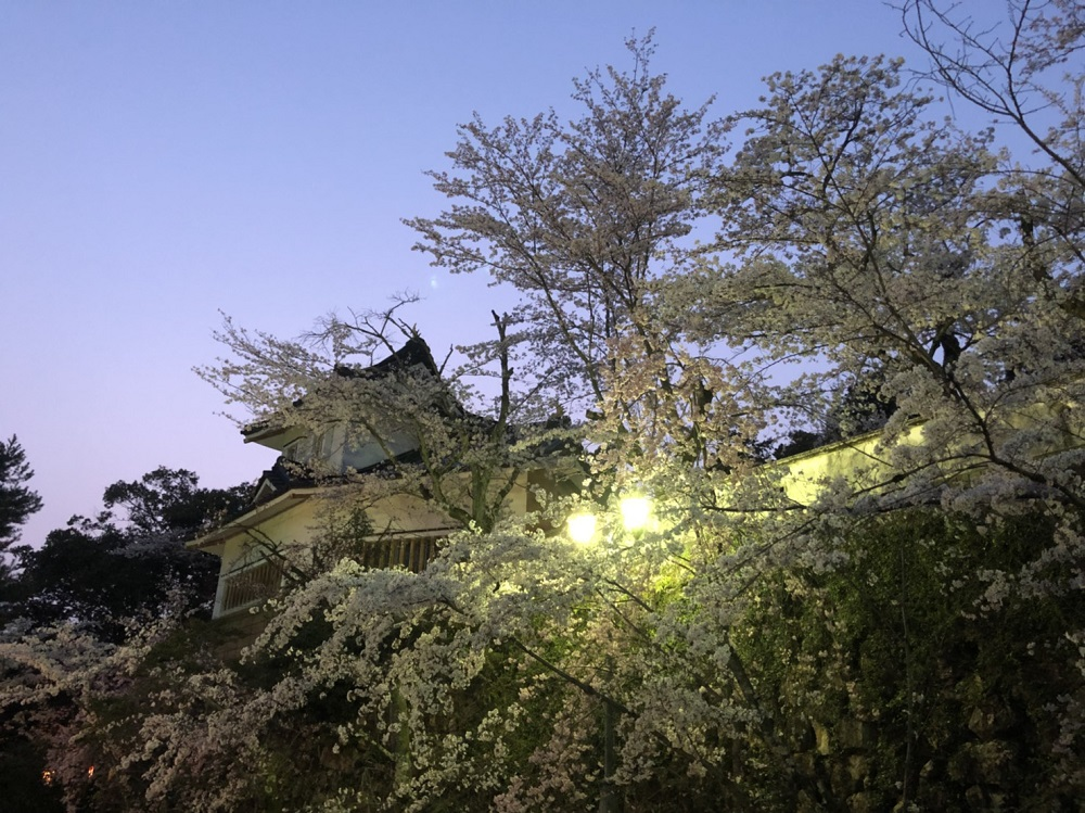 関市桜の名所 小倉公園 2018年3月29日夜 撮影