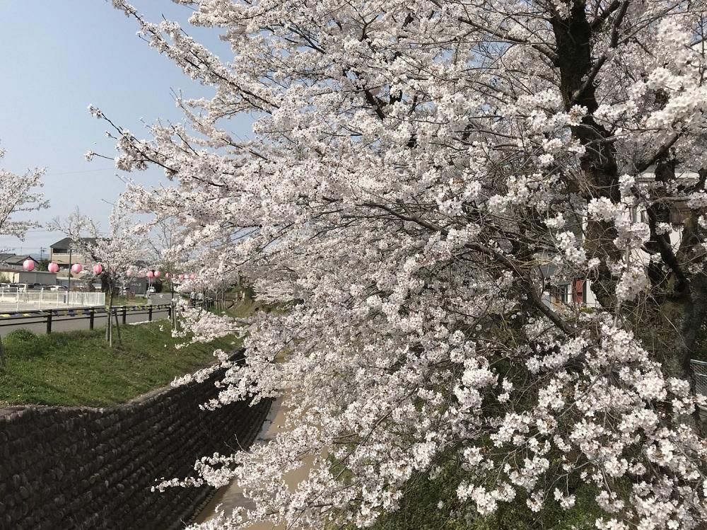 関市の桜の名所 関川 2018年3月29日昼撮影