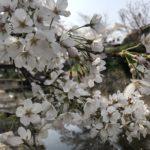 岐阜県関市と近郊の桜の名所、お花見スポットの開花状況【2019】