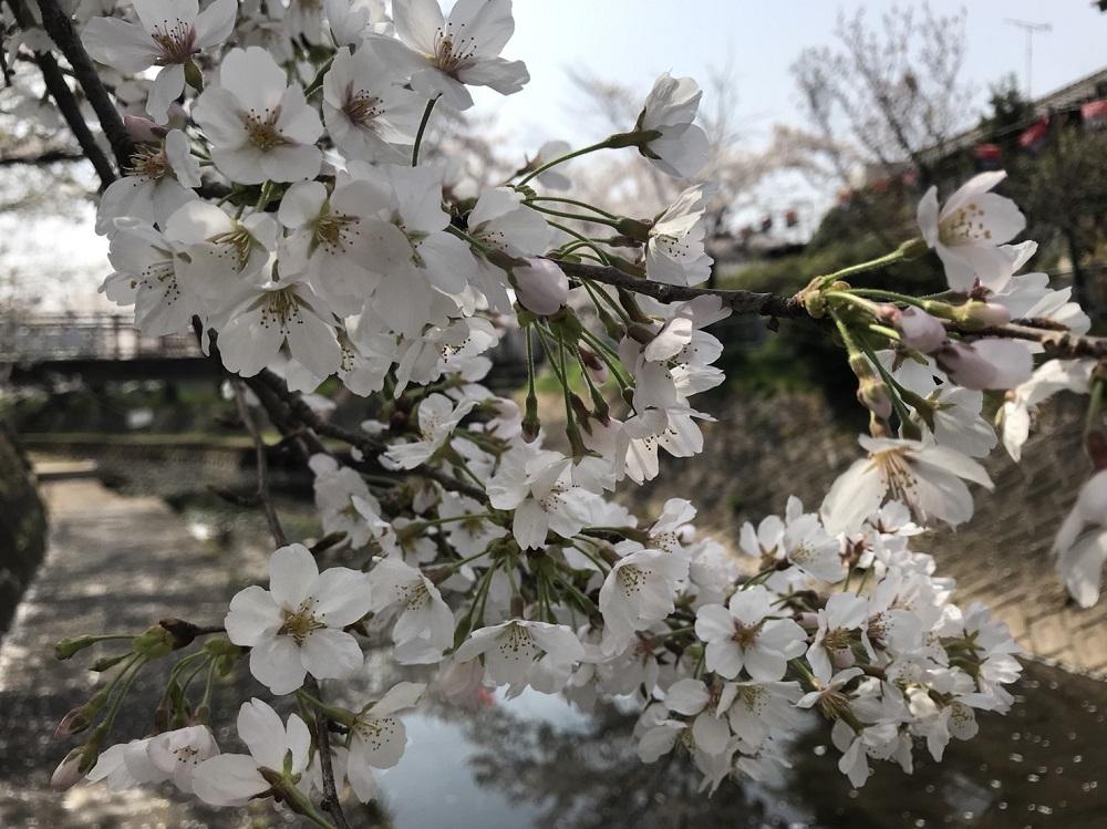 関市の桜の名所 吉田川 2018年3月29日昼撮影