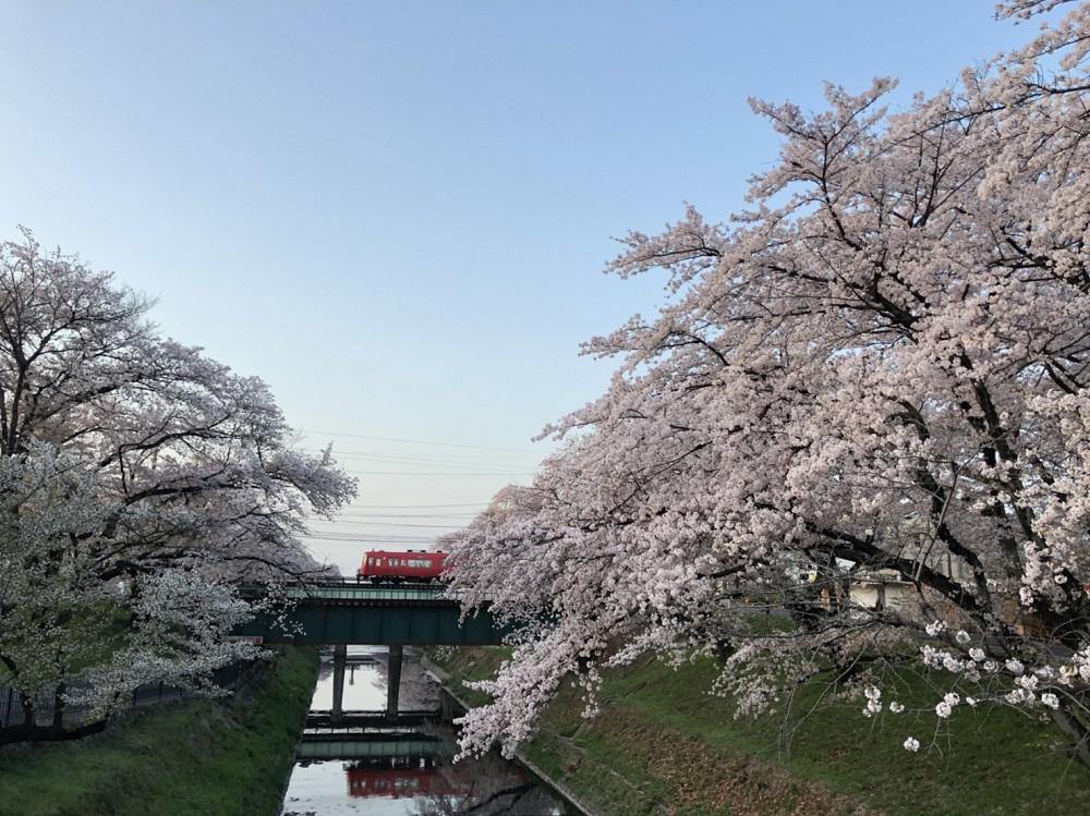 各務原市の桜の名所 新境川・百十郎桜 2018年31日昼撮影