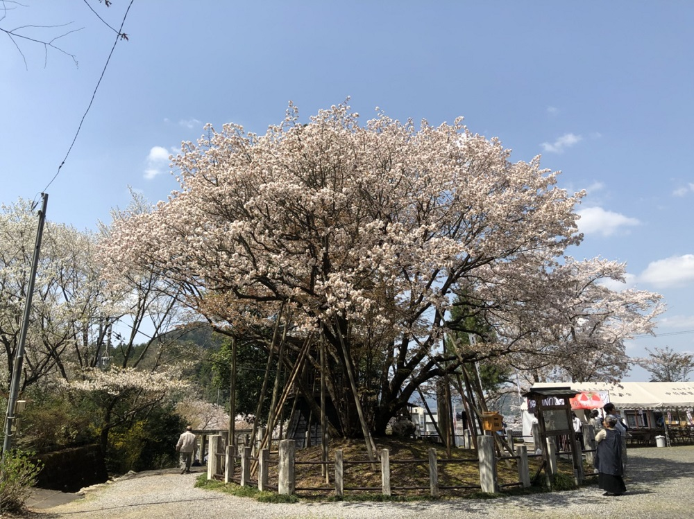 岐阜市の桜の名所 中将姫誓願桜 2018年3月31日昼撮影