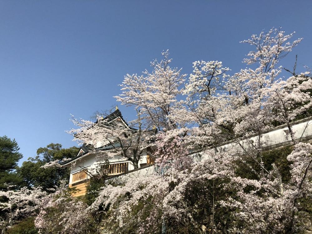 美濃市桜の名所 小倉公園 2018年3月31日朝 撮影