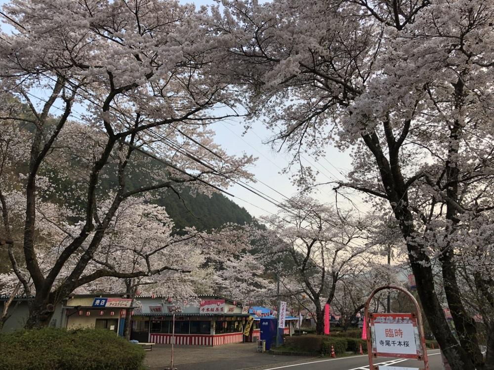 関市の桜の名所 寺尾ヶ原千本桜公園 2018年4月4日朝撮影