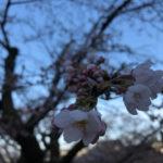 関市とその近郊の桜の名所、お花見スポットの開花状況【2018】