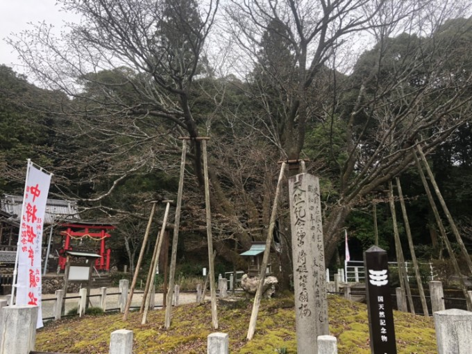岐阜市中将姫誓願桜 桜の開花状況 3月23日