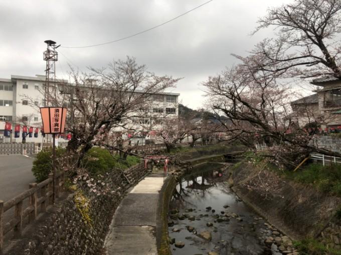 関市 吉田川 桜の開花状況 3月30日