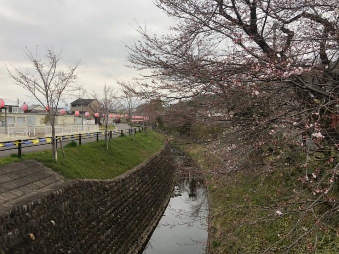 関市 関川 桜の開花状況 3月30日