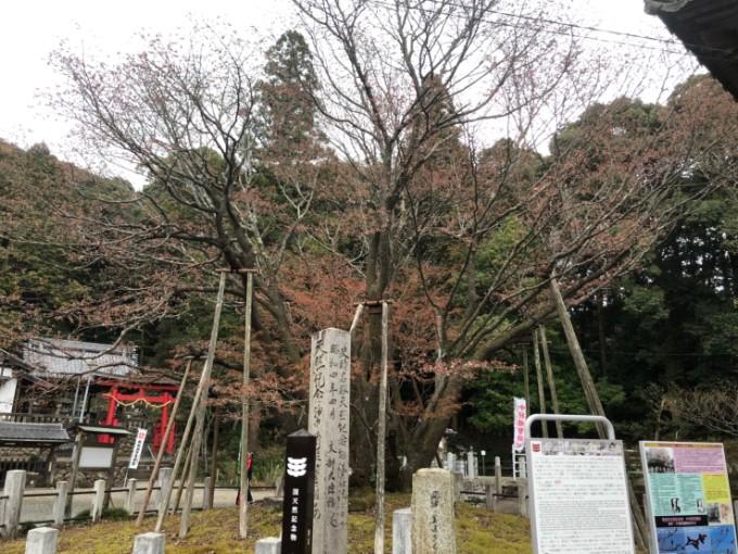 岐阜市 中将桜 桜の開花状況 3月30日
