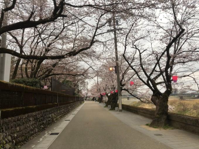 岐阜市 長良公園 桜の開花状況 3月30日