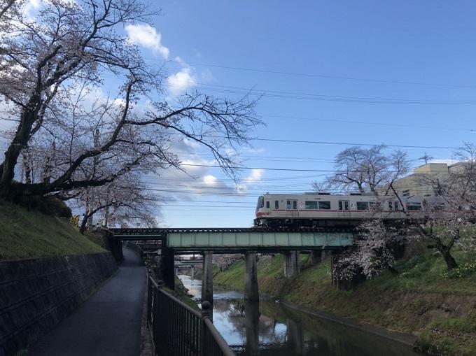各務原市 境川 桜の開花状況 3月31日