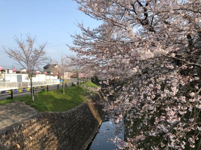 関市 関川 桜の開花状況4月6日
