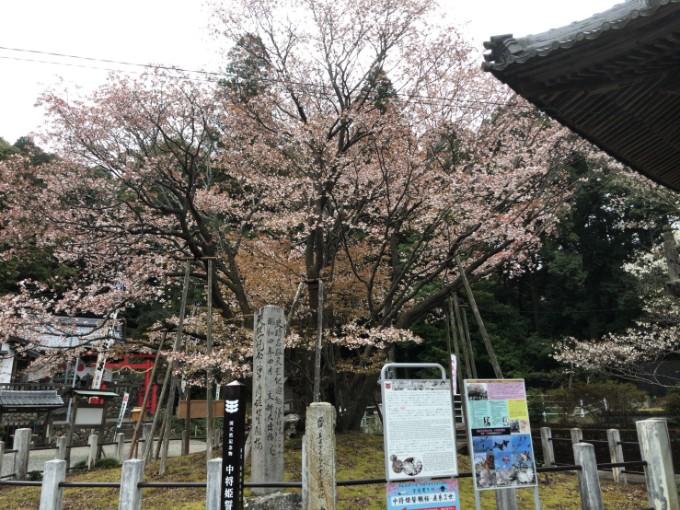 岐阜市 中将桜 桜の開花状況 4月6日