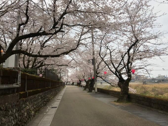 岐阜市 長良公園 桜の開花状況4月6日