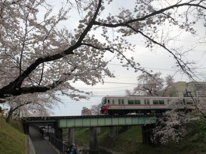 各務原市 境川 桜の開花状況 4月6日