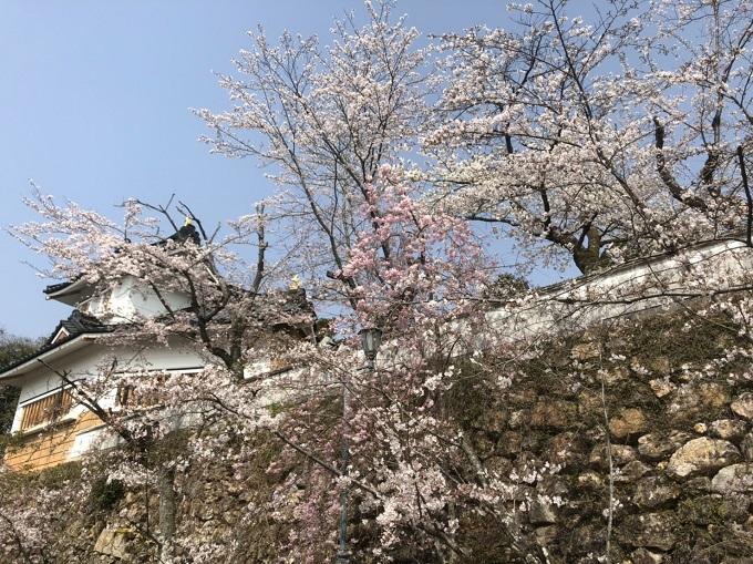 美濃市 小倉公園 桜の開花状況4月7日