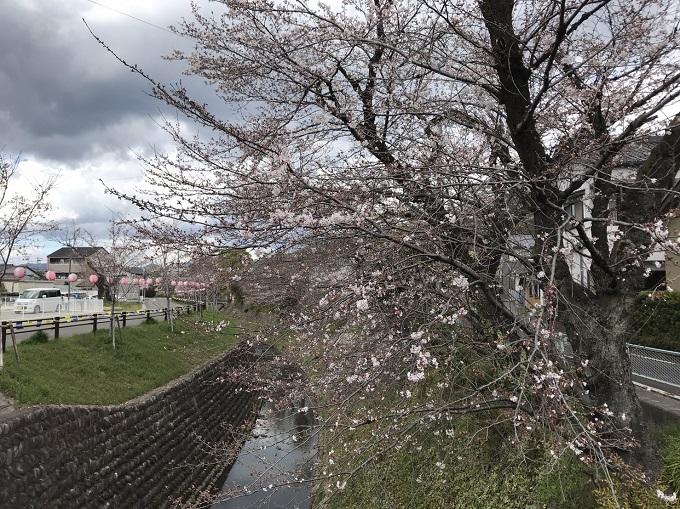 関市 関川 桜の開花状況4月1日