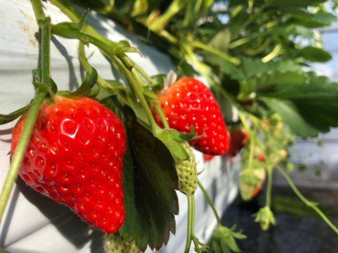 ふるさと農園の赤いいちご