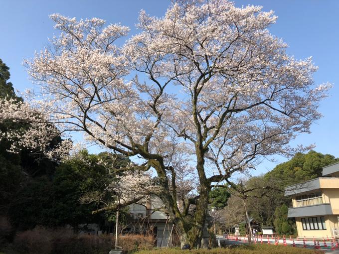 護国神社内の鵜飼桜