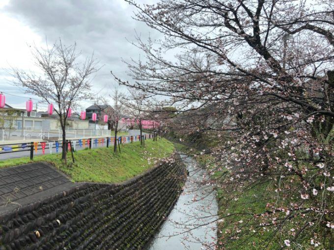 関川の桜 2020年3月28日