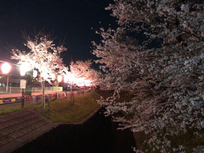 関川の桜 2020年4月3日