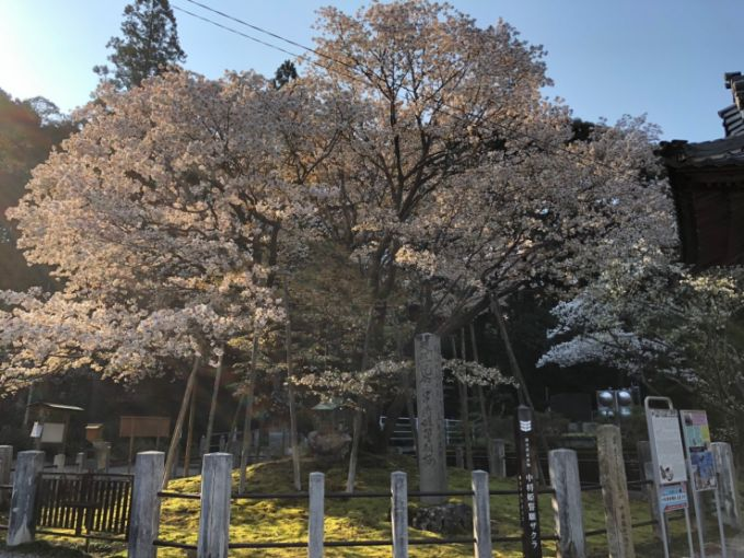 中将姫誓願桜2020年4月3日