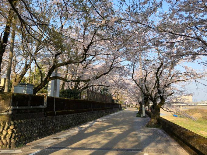 岐阜公園・長良川堤の桜 2020年4月4日