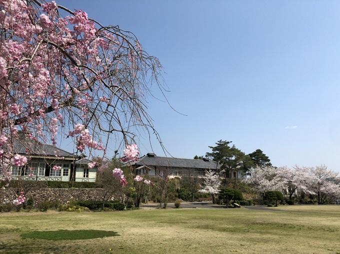 明治村の桜
