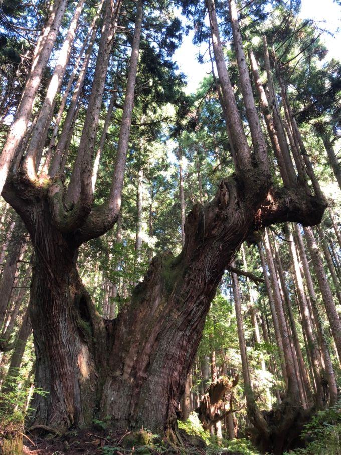 神秘的な株杉