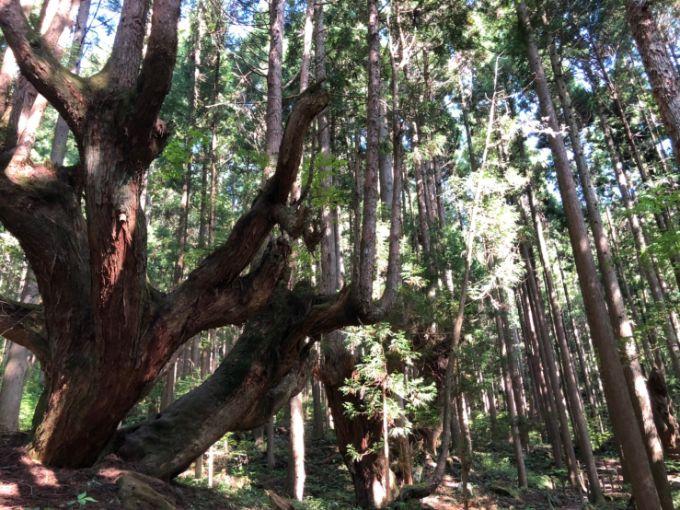株杉の群生