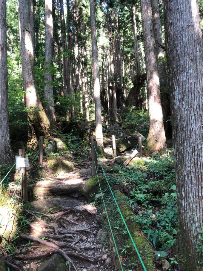 整備された株杉の森