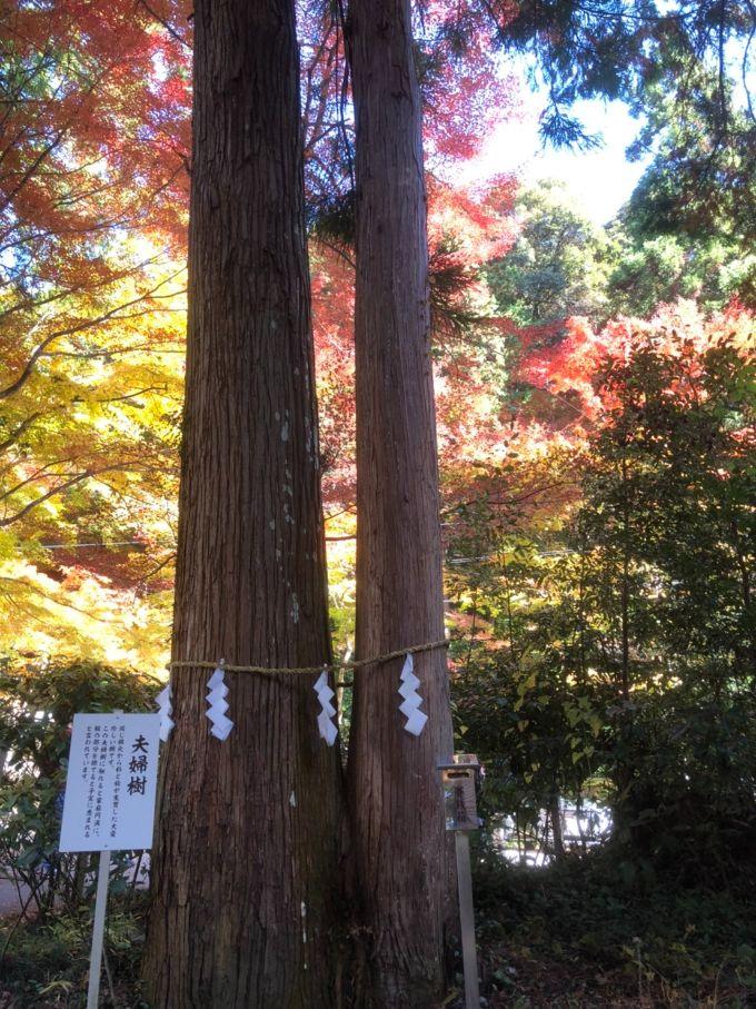 大矢田神社の夫婦樹