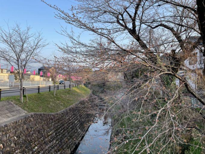 関川の桜 2021年3月20日