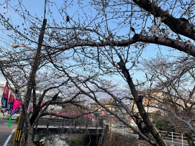 吉田川の桜 2021年3月20日