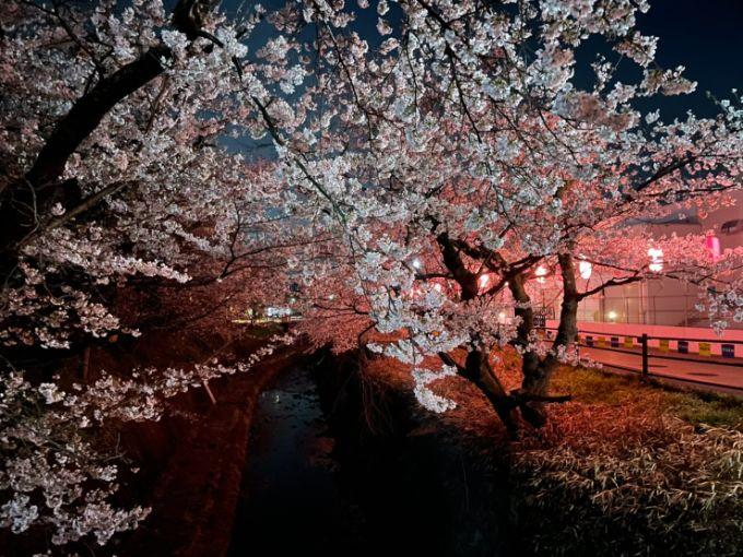 関川の桜 2021年3月26日